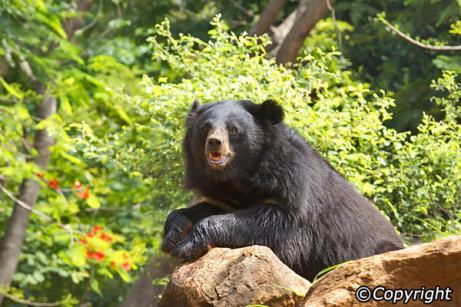 asian-black-bear