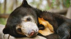 bear-phnom-penh-201127-0