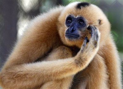 A yellow-cheeked crested gibbon sits in a cage at Cambodia's Phnom Tamau Zoo in Takeo province, about 45 kilometers (28 miles) south of Phnom Penh, Cambodia, Friday, Aug. 29, 2008. The New-York-based Wildlife Conservation Society announced its findings in a statement Friday. The group says its researchers, working with Cambodian wildlife officials, have counted 42,000 black-shanked douc langurs along with 2,500 yellow-cheeked crested gibbons in the Seima Biodiversity Conservation Area in a remote northeastern corner of the country. (AP Photo/Heng Sinith)
